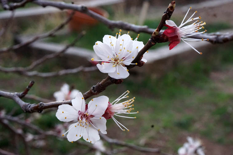 Apricot blossoms in our backyard ---- March 19, 2020 ---- photo by MW