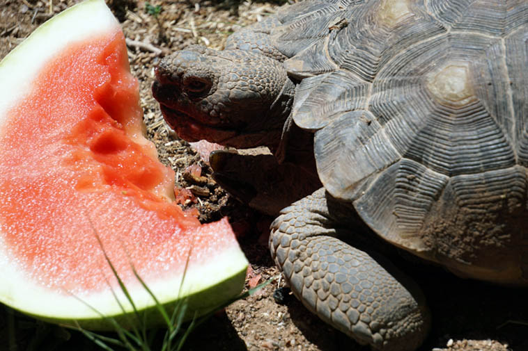 "Summertime in the backyard always feels like childhood. Déjà vu. Stasis. . . . . . Me and the tortoise having watermelon on the second-to-last day of June (2020) while I try to read Marshall McLuhan, interesting stuff, but sort've dated, with a preponderance of high-flown surmise and certainties, some of which I chalk up to 1968, others I am merely circumspect not to take them on-board, and still others I'm in complete agreement, his long-standing warnings of a coming ""electronic age"" in which the medium of delivery will take over from content, and content will be old school, who needs it? Well, he's the guy we were all reading back then. He's in his grave now saying I told you so. Photo by Mark Weber"