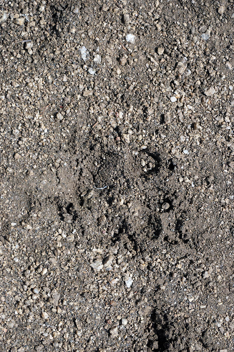 Fresh cougar paw print up on Oso Ridge Trail morning of February 26, 2021 ---- photo by MW