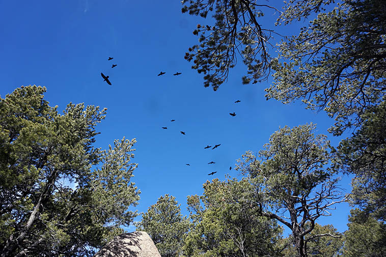 These crows followed me for about twenty minutes ---- 17 of them ---- Oso Ridge Trail heading toward Barefoot Arroyo cut-down trail, up around 7200 feet, when I got deeper into that Pinon Forest they flew through the understory, very cinematic ---- February 26, 2021