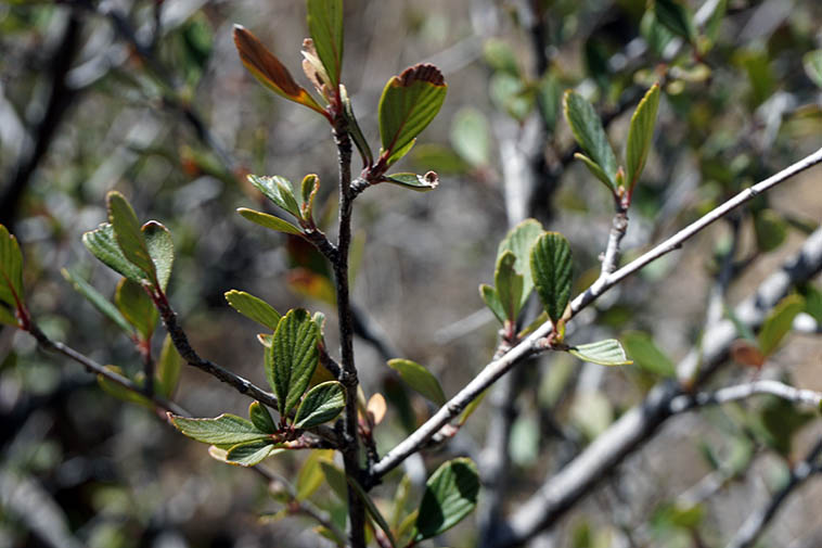 Mountain Mahogany with Spring new leaves ---- March 30, 2021 Embudito Canyon Trail