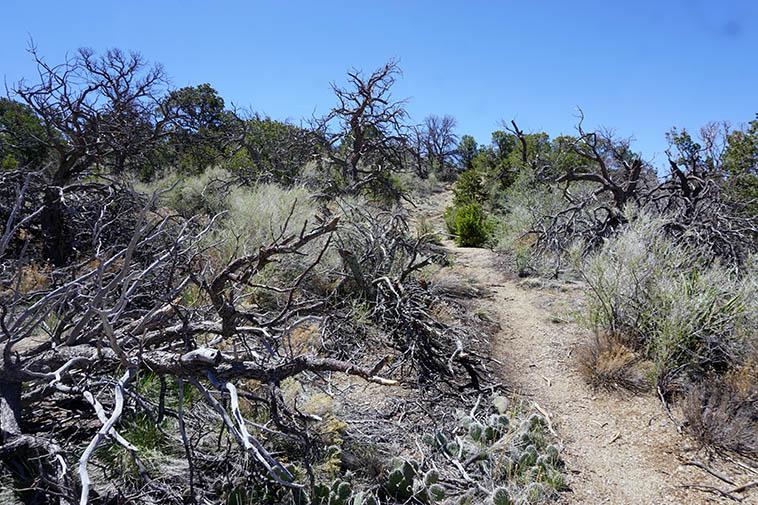 Ravaged by Pinebark Beetle ---- death everywhere just before High Noon