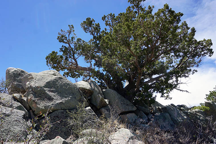 Highest point of this trail ---- 7,635 feet ---- old Pinyon pine and granite